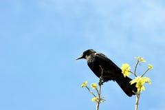 Corax di Raven Corvus che si siede in un ramo fotografie stock