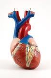 Corazón anatómico Foto de archivo libre de regalías
