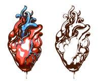 Corazón anatómico Fotografía de archivo