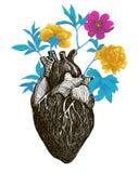 Corazón anatómico humano libre illustration