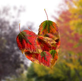 Corazón creado de las hojas de otoño Fotos de archivo libres de regalías