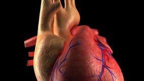Corazón de la anatomía - golpe de corazón humano ilustración del vector