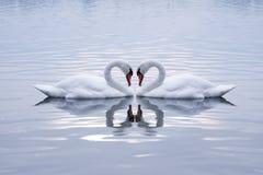 Corazón de los cisnes imagen de archivo
