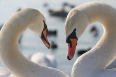 Corazón de los cisnes Imagen de archivo libre de regalías