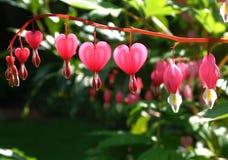 Corazón de sangría Imágenes de archivo libres de regalías