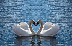 Corazón del cisne Imágenes de archivo libres de regalías