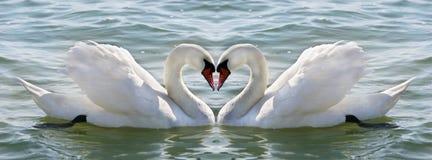 Corazón del cisne Imagen de archivo libre de regalías