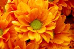Corazón del crisantemo Imágenes de archivo libres de regalías