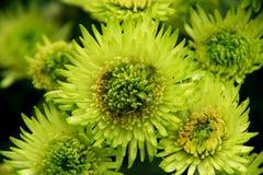Corazón del crisantemo Fotografía de archivo libre de regalías
