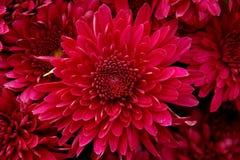Corazón del crisantemo Imagen de archivo libre de regalías