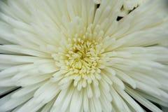 Corazón del crisantemo Imagenes de archivo