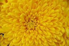 Corazón del crisantemo Fotografía de archivo