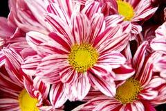 Corazón del crisantemo Foto de archivo libre de regalías