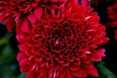 Corazón del crisantemo Fotos de archivo libres de regalías