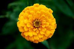 Corazón del crisantemo Imagen de archivo