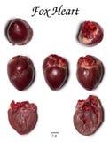 Corazón del Fox fotos de archivo