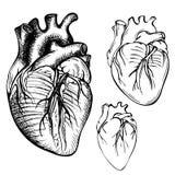 Corazón del ser humano de la tinta del bosquejo Ejemplo anatómico grabado del corazón stock de ilustración