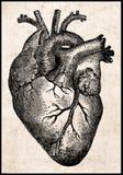 Corazón humano. Fotografía de archivo libre de regalías