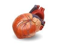 Corazón humano - camino del mantiene Imagen de archivo