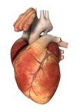 Corazón humano en blanco stock de ilustración