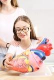 Corazón humano Lección de la anatomía Foto de archivo