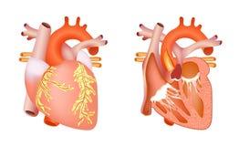 Corazón humano médico Imagenes de archivo