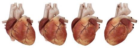 Corazón humano y arterias coronarias Imagen de archivo libre de regalías
