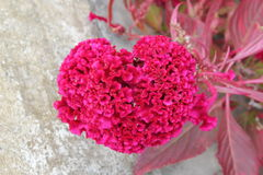 Corazón natural de las flores para el día de la tarjeta del día de San Valentín y de madres Fotos de archivo libres de regalías