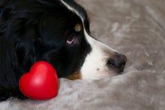 Corazón rojo cerca de la cara del perro de Bernese Mounntain en fondo beige de la cama Copie el espacio Fondo feliz del día del ` imagenes de archivo