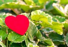 Corazón rojo en la hoja verde con el fondo de la naturaleza Foto de archivo libre de regalías