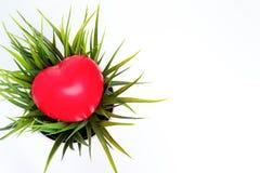 Corazón rojo grande que miente en una planta en la maceta, espacio de la copia imágenes de archivo libres de regalías