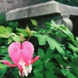 Corazón sangrante Imagen de archivo