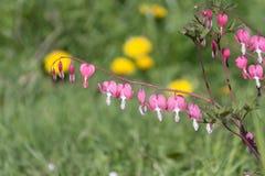 Corazón sangrante pacífico en jardín de la primavera imagen de archivo