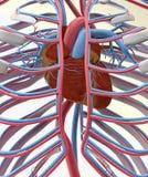 Corazón, sistema circulatorio y costillas Imágenes de archivo libres de regalías