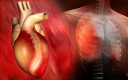 Corazón y cuerpo humano Imagenes de archivo