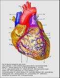 Corazón y vasos sanguíneos stock de ilustración