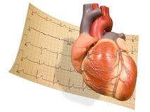 Corazón con EKG Imagen de archivo libre de regalías