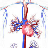 Corazón con las venas y las arterias Imagen de archivo libre de regalías