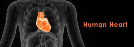 Corazón humano Fotografía de archivo libre de regalías