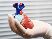 Corazón humano en la mano del doctor Fotos de archivo