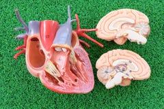 Corazón y cerebro Foto de archivo