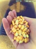 Corazones de maíz Imagen de archivo libre de regalías