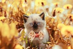 Corbata de lazo que lleva del gatito en flores Fotos de archivo libres de regalías