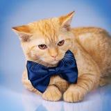 Corbata de lazo que lleva del gato Foto de archivo
