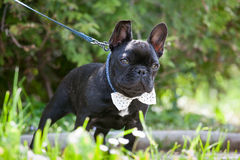 Corbata que lleva del dogo francés Imagen de archivo libre de regalías