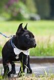 Corbata que lleva del dogo francés Imágenes de archivo libres de regalías