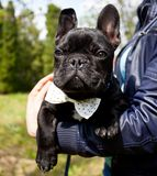 Corbata que lleva del dogo francés Foto de archivo libre de regalías