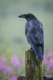 corbeau Photos libres de droits