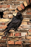 corbeau Photo stock