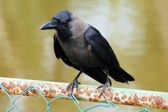 corbeau Image stock